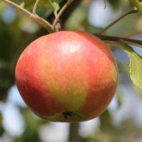 Такие яблочки выросли :: Олег Афанасьевич Сергеев