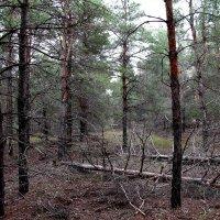 В сосновом лесу :: Dr. Olver  ( ОлегЪ )