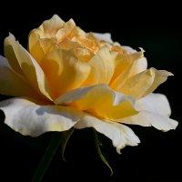 Лепестки роз — отголоски красоты :: Luis-Ogonek *