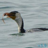 Баклан поймал рыбу и проглотил за 10 секунд (4/5) :: Асылбек Айманов