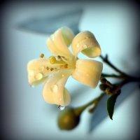 Мурайя - священный цветок японских императоров :: Андрей Заломленков