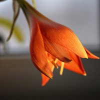 Январский цветок :: Сергей Козлов