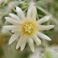 Цветок кактуса :: Татьяна Куликова