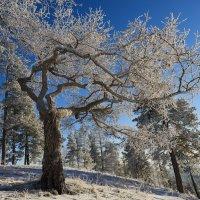Японское дерево бонсай на Урале. :: Сергей Адигамов