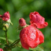 Розовые розы. :: Оля Богданович