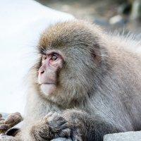 Снежные обезьянки :: Екатерина Валенчиц
