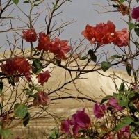Палестинские цветы. :: Олег Дурнов