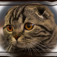 Вислоухая-из серии Кошки очарование мое! :: Shmual Hava Retro