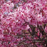 Сакура в Парке Уэно Токио :: Swetlana V