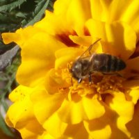 Пчелка :: Svetlana Lyaxovich