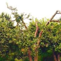 Дерево. :: Виктория Черненко