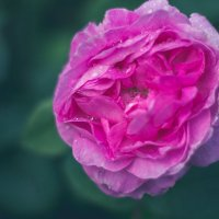 роза :: Танюсик *****