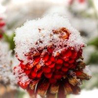 Циния под снежинками :: TATYANA PODYMA