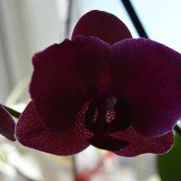 Орхидея :: Анна Былина