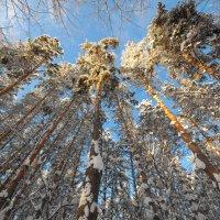 Зимние сосны на фоне солнечного неба :: Сергей Тагиров