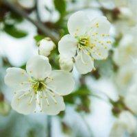 Цветение яблони :: Полина Шлапакова