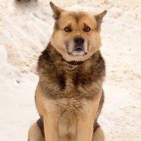 Пёс :: Александр Прокудин