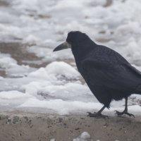 черный ворон :: Алина Гриб