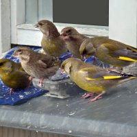 зеленушки :: linnud