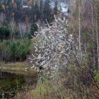 Осеннее цветение чернотала :: MaOla ***