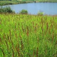 Травы,травы.. :: Елена Семигина