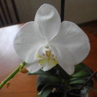 Орхидея :: Олег Афанасьевич Сергеев