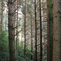 хвойный лес :: Natalya секрет