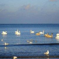 На море в Пионерском зимуют лебеди :: Маргарита Батырева
