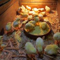 Цыплёнок маленький - как шарик одуванчика :: Наталья (D.Nat@lia) Джикидзе (Берёзина)