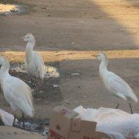 Египетские малые цапли на подкормке у рынка :: Герович Лилия