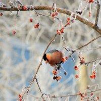 Про снегиря и лакомство :: galina tihonova