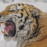 Тигр :: Михаил Измайлов