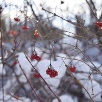 Зимние ягоды :: Александр Сидоров