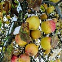 Яблоки под снегом :: Tatjana