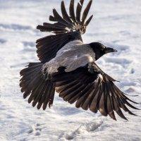 почти...орел :: Лариса Батурова