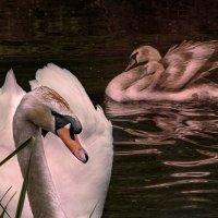 Лебедь - всегда лебедь... :: Сандродед