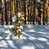 В лесу родилась ёлочка... :: Александр Тулупов
