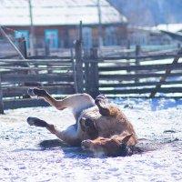 """""""Ну я валяюсь..."""" сказала лошадь и заржала... :: Дмитрий Головин"""