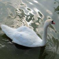 Лебедь :: Вера Щукина