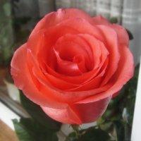 Всем Татьянам дарю розу! С праздником! :: татьяна