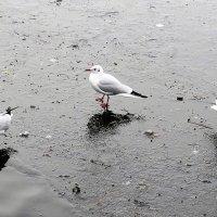 Воскресная прогулка (серия). Чайки на льду :: Nina Yudicheva