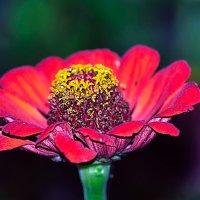 Осени цветы :: Анатолий Клепешнёв