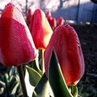 Тюльпаны :: mAri