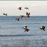 Летят утки... :: Нина Бутко