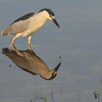 Black-crowned Night-Heron :: Naum