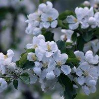 Сибирский яблоневый сад цветет :: Екатерина Торганская