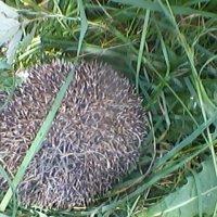 Ёжик в траве зеленой :: Тоня Просова