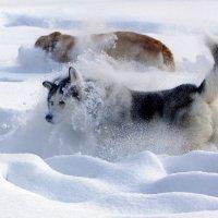 игры в снегу... :: Олег Петрушов