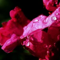 Шиповник после  дождя ... :: Валерия  Полещикова