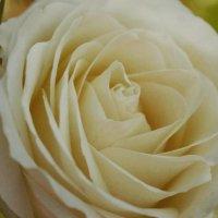 Роза :: Виктория
